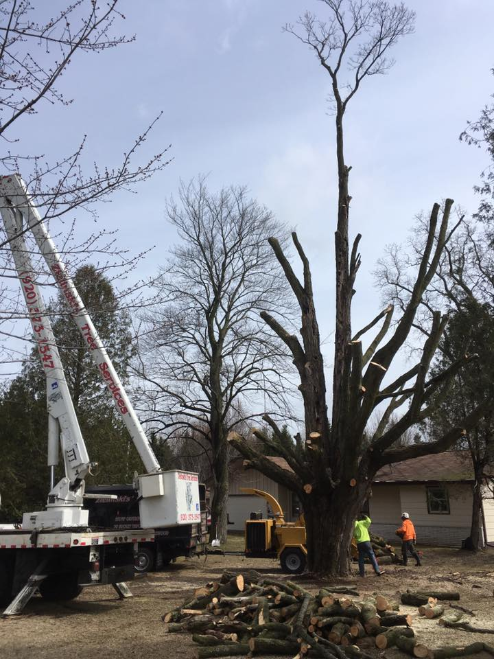 monster of a tree taken down in Oconto Falls- Zielinski Tree Services 3