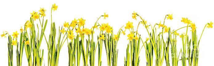 Daffodils Background.jpg