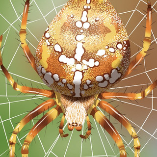 wapiti | araignées