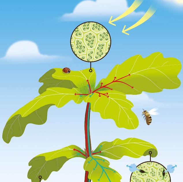 wapiti   photosynthèse