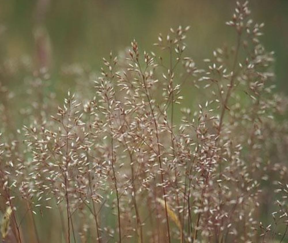 Crinkled Hair Grass