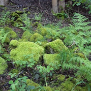 Moss covered rocks and fern