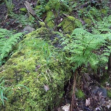 Ferns and tree stump