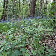 Wild bluebells and wild flowers