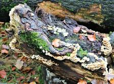 Judy woods Bradford tree fungus.jpg