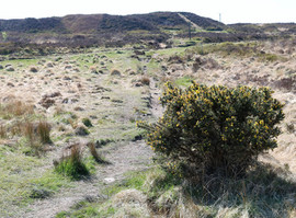 Moor bush.jpg