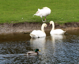Three swans on canal