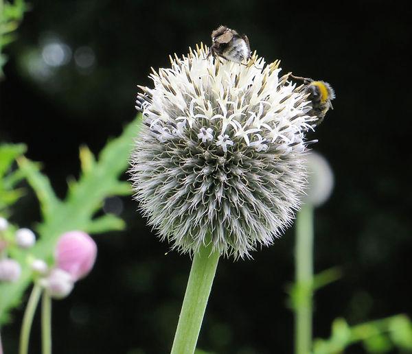 Bees on thistle botanical garden
