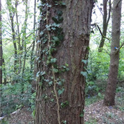 Ivy rowing up tree in woods