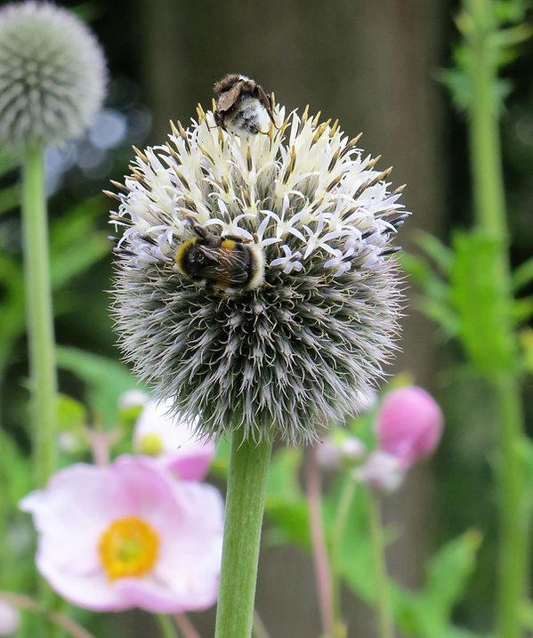 Botanical garden  bees thistle pod