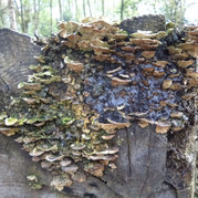 Fungus covers treestump