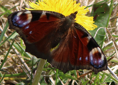 Peacock butterfly found on Haworth  moor