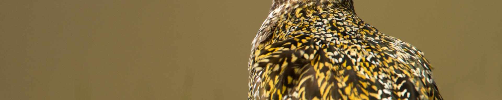 Close up of a golden plover..jpg