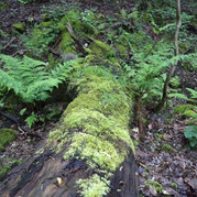 Fallen tree covered in moss