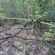 Fallen branches in Buck woods Thackley