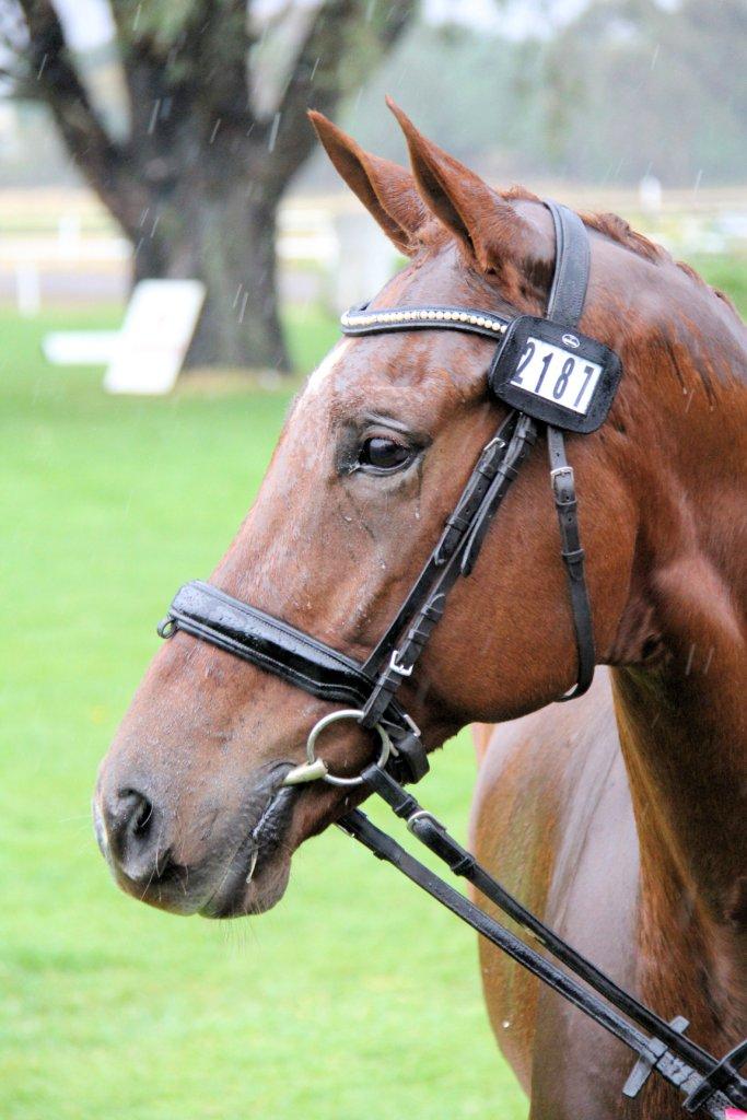 Event horse 2187