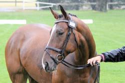 Event horse 027