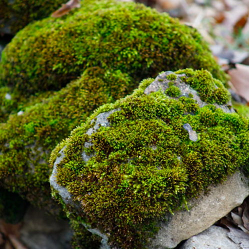 Organic Fresh Moss