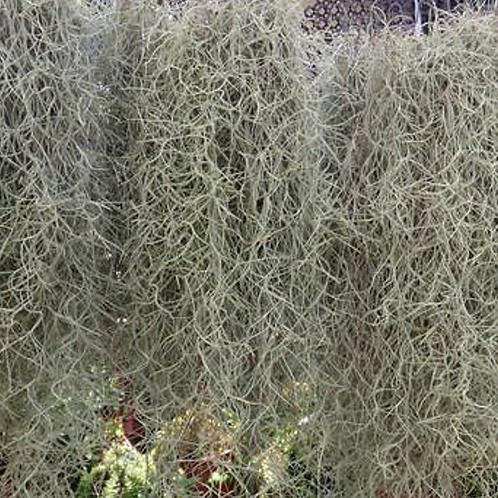 Fresh Spanish Moss