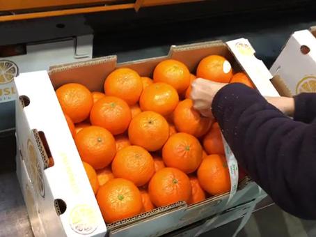 Empaquetado mandarinas CitrusLove