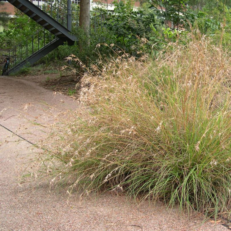 Picture of a tussock of Kangaroo Grass