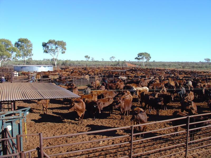 Beef cattle on Narwietooma Station, Alice Springs