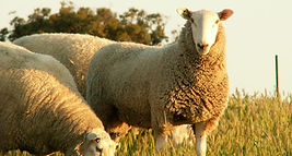 Sheep-Pirsa-1-850x455.jpg