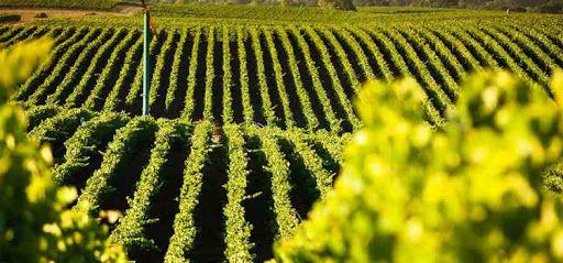 Clare Valley vinyard.jpg