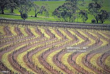 Vineyard Of The Leasingham Winery Clare