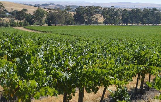 Vineyards at Kadlunga Station, Mintaro SA