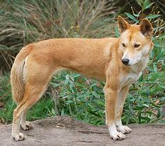 dingos-wolf-subspecies.jpg