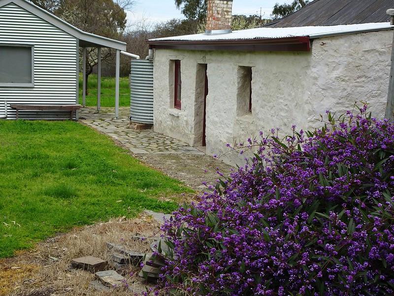 Purple flowering native hardenbergia behind explorer John Horrocks 1842 cottage at Penwortham.