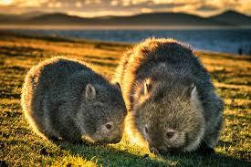 Two Wombats, Australia's burrowing marsupial