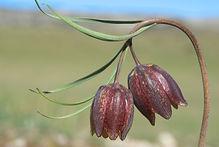 Fritillaria montana.jpg
