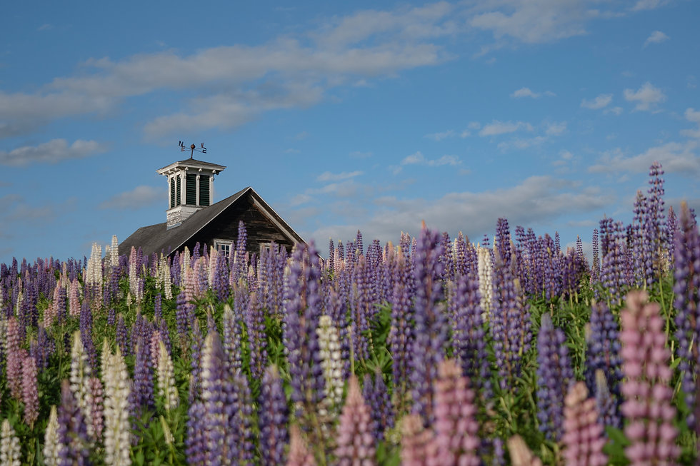 Whitefield Lupines