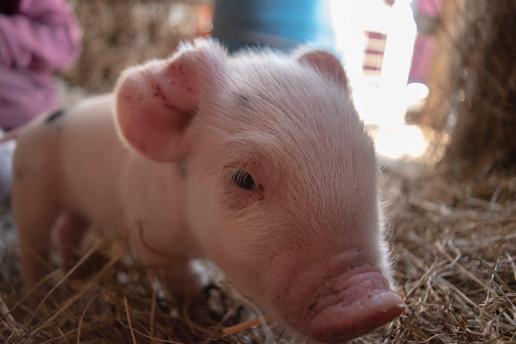 Hampshire Piglets