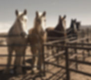 draft horses_edited.jpg