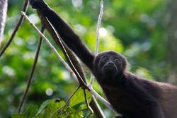 Juvenile Howler Monkey