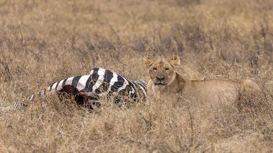 Löwin mit Beute im Ngorongoro-Krater
