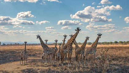 Giraffen an der Strasse nach Iringa