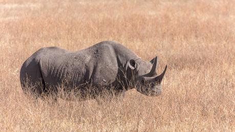 Nashorn im Ngorongoro-Krater