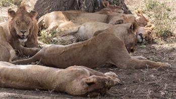 Löwenrudel in der Serengeti bei der Mittagsruhe