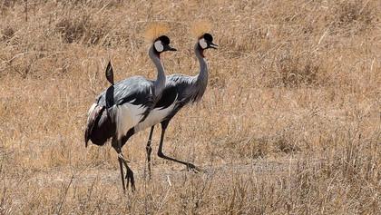 Kraniche im Ngorongoro-Krater