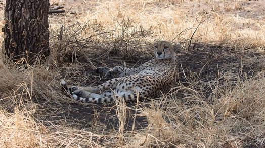 Gepard bei der Mittagsruhe gestört