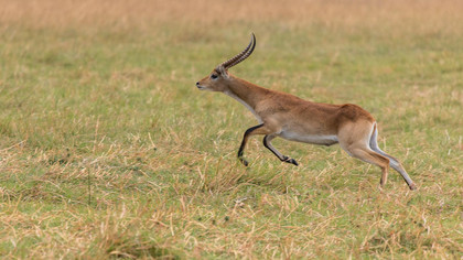 Lechwe-Antilope