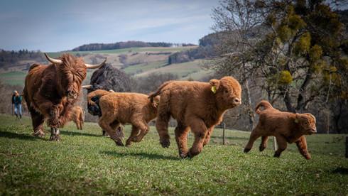 Die Highland Cattle sind los...