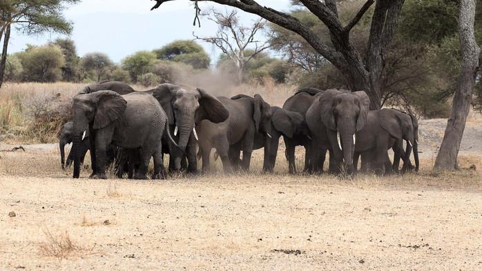 Elefanten beim Staubbad