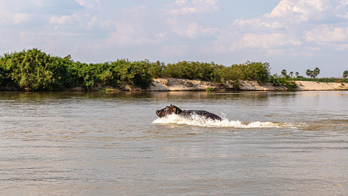 Flusspferd auf der Flucht