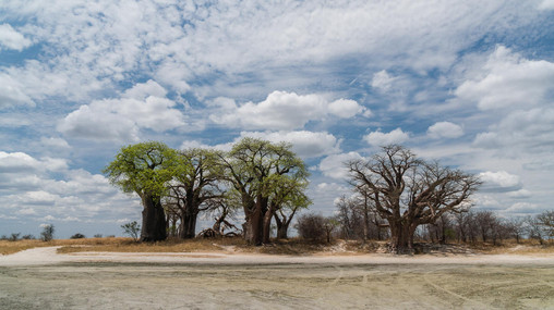 Baynes Baobabs im Nxai Pan NP II