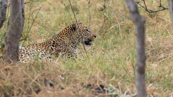 Leopard im Khwai-NP